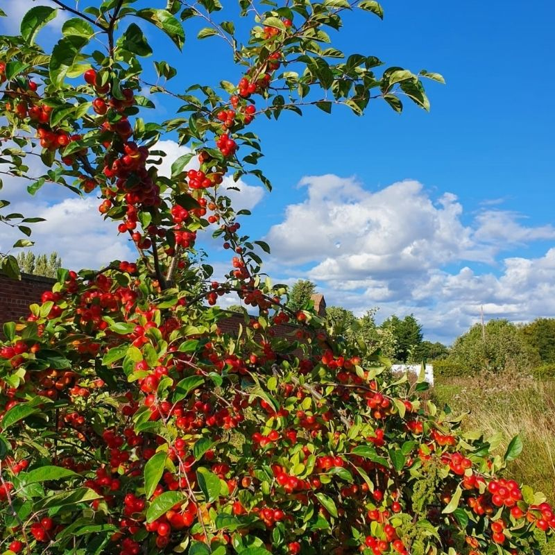 Crab Apple Tree In The Orchard At Preston Park Museum